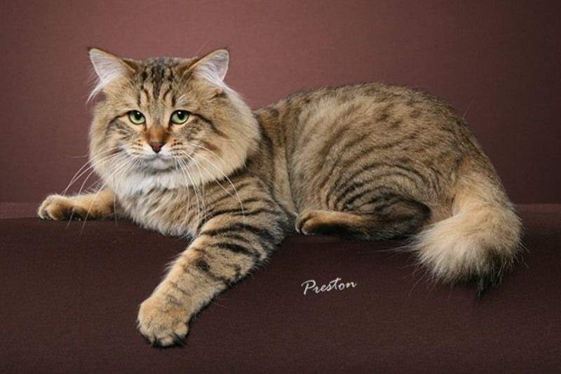 kucing american bobtail longhair