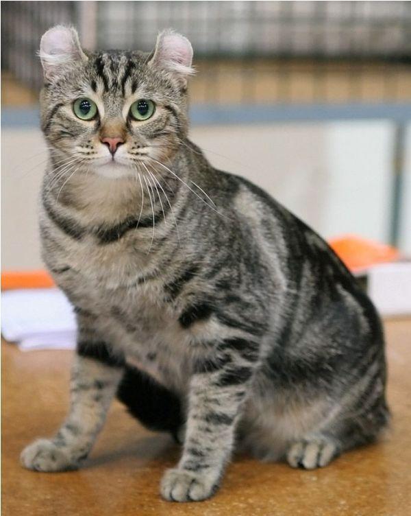 kucing american curl shorthair