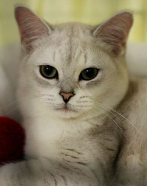 kucing burmilia
