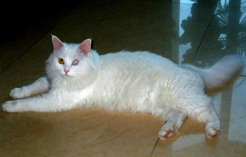 kucing chinese white