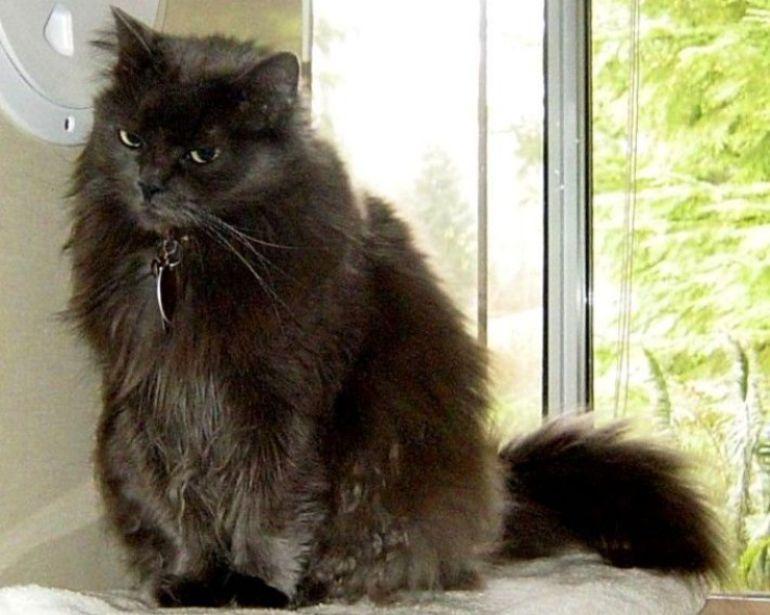 house cat longhair