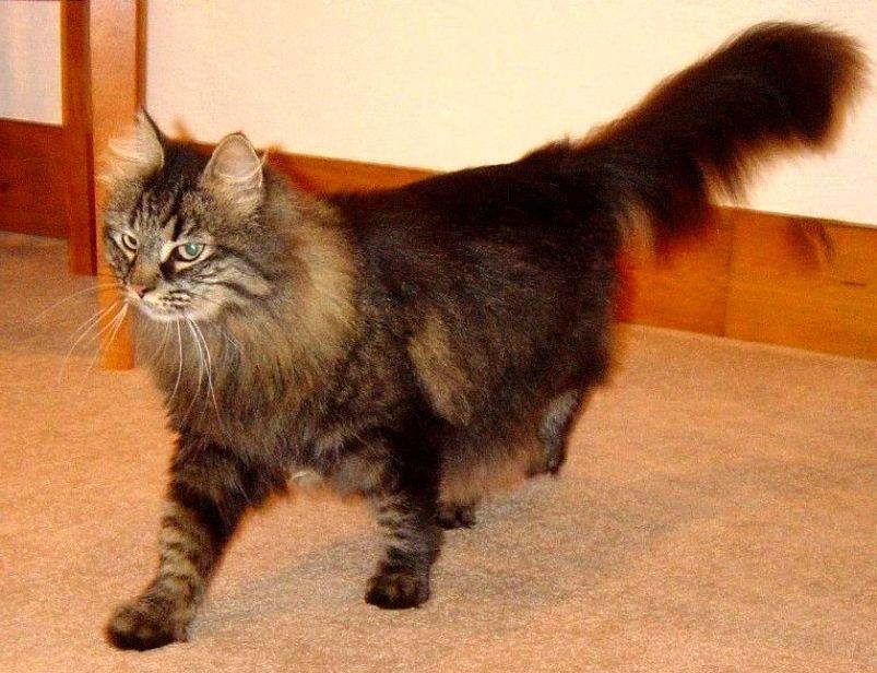 kucing domestic longhair