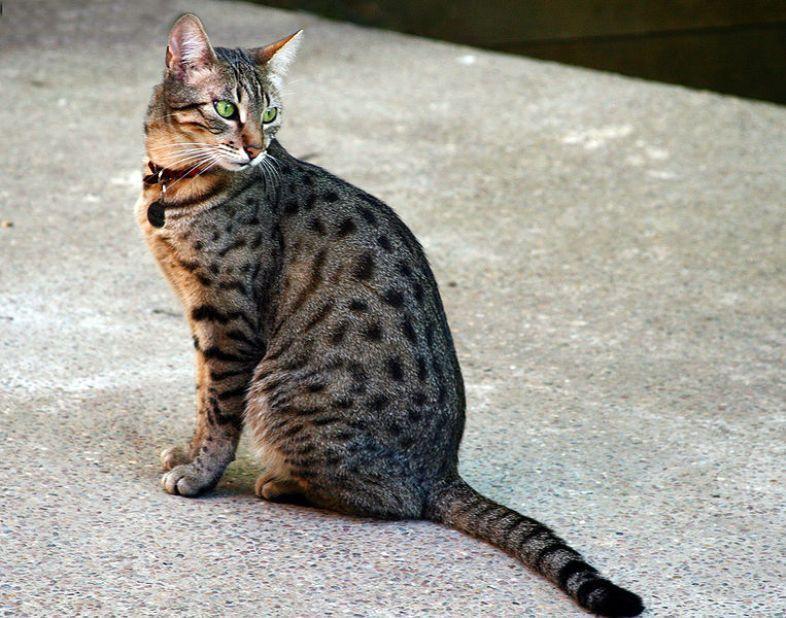 kucing egyptian mau
