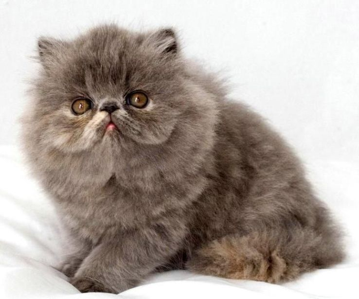 kucing exotic longhair