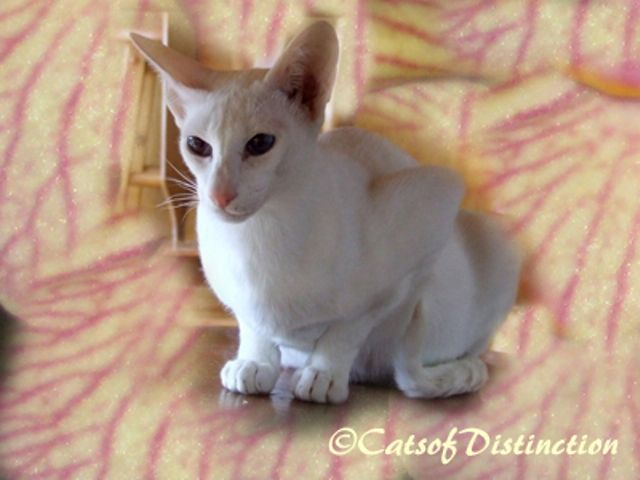 kucing foreign white