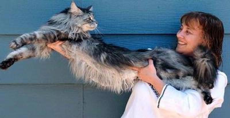 kucing terpanjang didunia