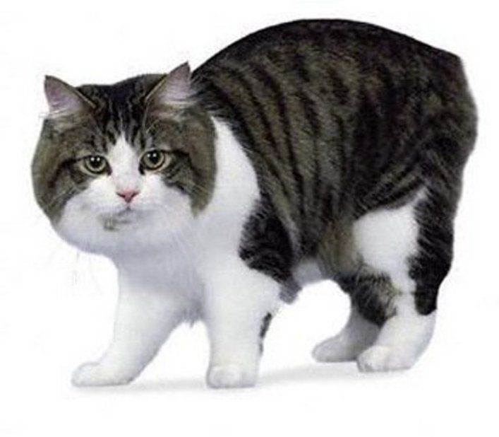kucing manx