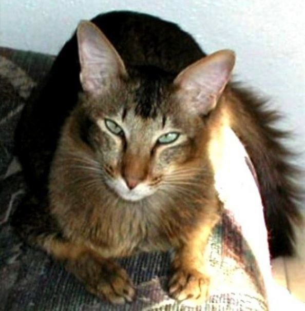 kucing oriental longhair