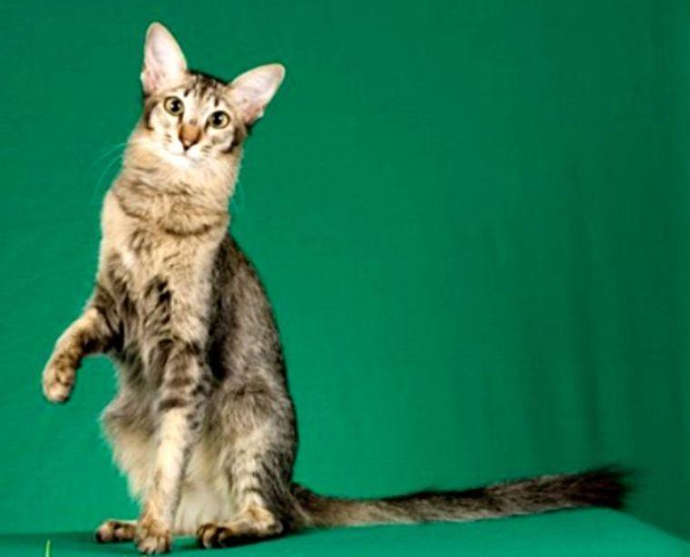 kucing foreign longhair