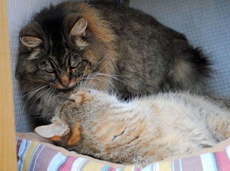 kucing peribob longhair