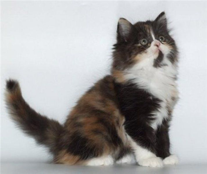 kucing scottish straight longhair