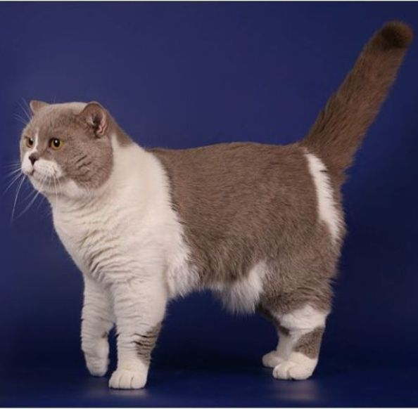 kucing scottish straight shorthair