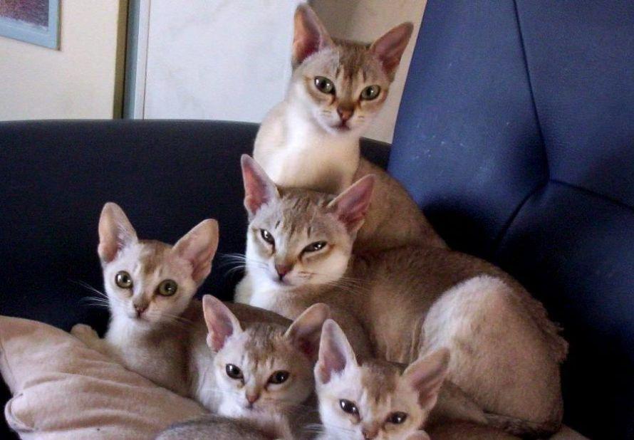 kucing singapura