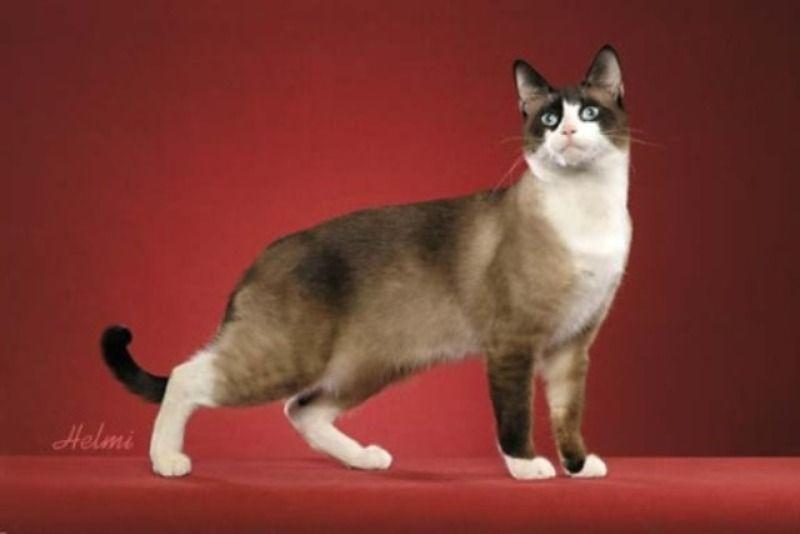 kucing snowshoe