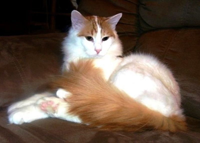 kucing turkish van