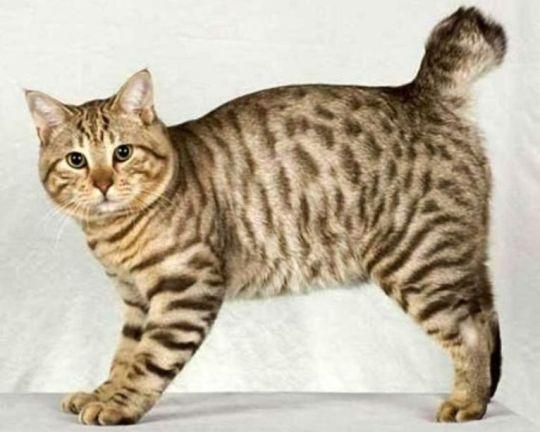 Kucing American Bobtail Shorthair