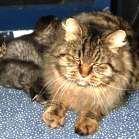 Kucing American Bobtail Longhair [ www.BlogApaAja.com ]