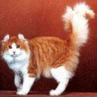Kucing American Curl Longhair [ www.BlogApaAja.com ]