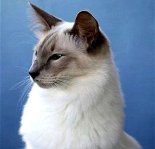 Siamase Longhair (Kucing Balinese)