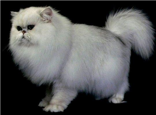 Kucing Chinchilla Longhair