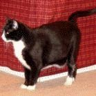 Kucing Domestic Shorthair [ www.BlogApaAja.com ]