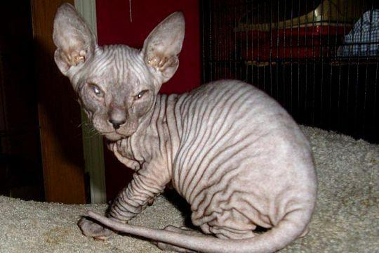 Kucing Donskoy (Don Sphynx)