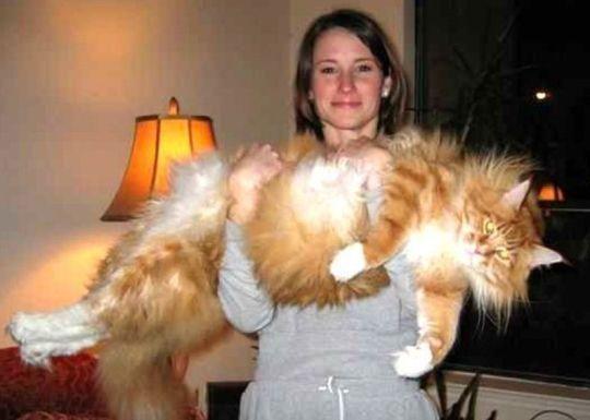 Kucing Maine Coon (American Snughead)