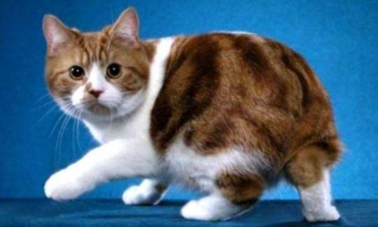 Kucing Manx (Rumpy)