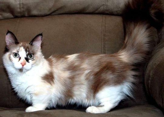 Kucing Munchkin [ www.BlogApaAja.com ]