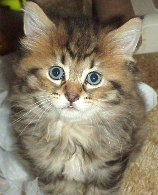 Kucing PixieBob Longhair