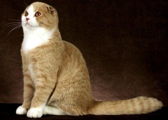 Kucing Scottish Fold (Coupari)