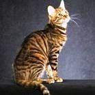 Kucing Toyger [ www.BlogApaAja.com ]