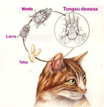 Siklus/Daur Hidup Tungau Telinga (Ear Mite)